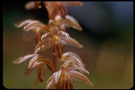Striped Coral Root