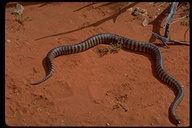 """<strong>Location:</strong> Alice Springs Desert Park, Northern Territory (Australia)<br /><strong>Author:</strong> <a href=""""http://calphotos.berkeley.edu/cgi/photographer_query?where-name_full=Gerald+and+Buff+Corsi&one=T"""">Gerald and Buff Corsi</a>"""