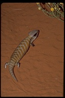 "<strong>Location:</strong> Alice Springs Desert Park, Northern Territory (Australia)<br /><strong>Author:</strong> <a href=""http://calphotos.berkeley.edu/cgi/photographer_query?where-name_full=Gerald+and+Buff+Corsi&one=T"">Gerald and Buff Corsi</a>"