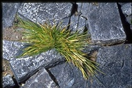 Antarctic Hair Grass