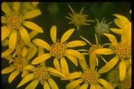 Ericameria sp.
