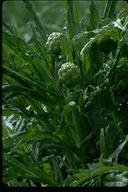 Cynara cardunculus ssp. cardunculus