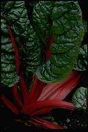 Beta vulgaris ssp. cicla