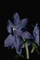 Delphinium sp.