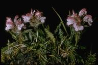 Pedicularis sp.