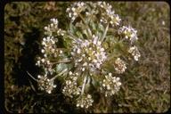 Cochlearia groenlandica