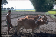Man plowing rice fields using oxen in Teral, Nepal