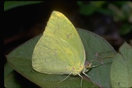 Galapagos Sulphur Butterfly