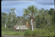 View of houses and palm trees used for weaving by people living along the Amazon River, Peru, 1972