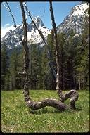 Pinus contorta ssp. latifolia