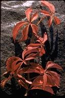 Parthenocissus vitacea