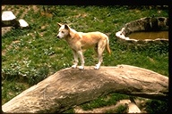 Canis familiaris dingo