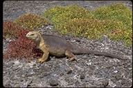 """<strong>Location:</strong> S. Playas, Galapagos, Ecuador, S. America (S. Playas (Galapagos), Ecuador)<br /><strong>Author:</strong> <a href=""""http://calphotos.berkeley.edu/cgi/photographer_query?where-name_full=Dr.+Robert+T.+and+Margaret+Orr&one=T"""">Dr. Robert T. and Margaret Orr</a>"""
