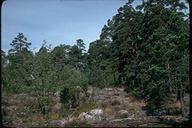 Pinus sylvestris var. sylvestris