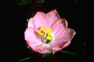 Passiflora tripartita var. mollissima