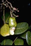 Anacardium occidentale