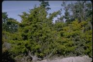 Cupressus goveniana