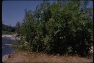Salix melanopsis