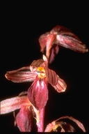 Striped Coral Root Orchid