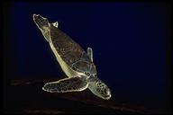 """California Academy of Sciences, Steinhart Aquarium<br /><strong>Author:</strong> <a href=""""http://calphotos.berkeley.edu/cgi/photographer_query?where-name_full=Caroline+Kopp&one=T"""">Caroline Kopp</a>"""