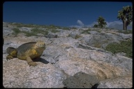"<strong>Location:</strong> South Plaza Island (Galapagos Islands), Ecuador<br /><strong>Author:</strong> <a href=""http://calphotos.berkeley.edu/cgi/photographer_query?where-name_full=Gerald+and+Buff+Corsi&one=T"">Gerald and Buff Corsi</a>"