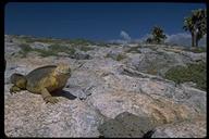"""<strong>Location:</strong> South Plaza Island (Galapagos Islands), Ecuador<br /><strong>Author:</strong> <a href=""""http://calphotos.berkeley.edu/cgi/photographer_query?where-name_full=Gerald+and+Buff+Corsi&one=T"""">Gerald and Buff Corsi</a>"""