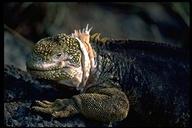 "<strong>Location:</strong> South Plaza Island (Galapagos), Ecuador<br /><strong>Author:</strong> <a href=""http://calphotos.berkeley.edu/cgi/photographer_query?where-name_full=Gerald+and+Buff+Corsi&one=T"">Gerald and Buff Corsi</a>"