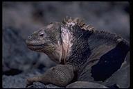 """endemic<br /><strong>Location:</strong> South Plaza Island (Galapagos), Ecuador<br /><strong>Author:</strong> <a href=""""http://calphotos.berkeley.edu/cgi/photographer_query?where-name_full=Gerald+and+Buff+Corsi&one=T"""">Gerald and Buff Corsi</a>"""