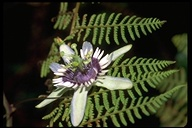Colinvaux's Passion Flower