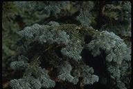 Abies lasiocarpa ssp. arizonica