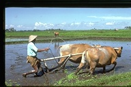 Plowing rice