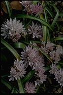 Allium cratericola