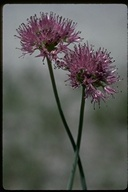 Allium validum