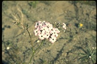 Broad-flowered Gilia