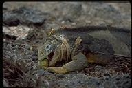 "<strong>Location:</strong> South Plaza Island (Galapagos, Ecuador)<br /><strong>Author:</strong> <a href=""http://calphotos.berkeley.edu/cgi/photographer_query?where-name_full=Gerald+and+Buff+Corsi&one=T"">Gerald and Buff Corsi</a>"