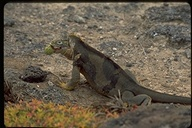 "<strong>Location:</strong> South Plaza Island (Galapagos, Ecuador)<br /><strong>Author:</strong> <a href=""http://calphotos.berkeley.edu/cgi/photographer_query?where-name_full=Gerald+and+Buff+Corsi&one=T"">Gerald and Buff Corsi</a>"