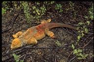 """<strong>Location:</strong> Urbina Bay (Galapagos, Ecuador)<br /><strong>Author:</strong> <a href=""""http://calphotos.berkeley.edu/cgi/photographer_query?where-name_full=Gerald+and+Buff+Corsi&one=T"""">Gerald and Buff Corsi</a>"""