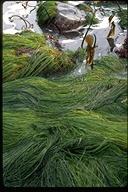 Phyllospadix scouleri
