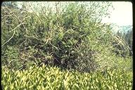Salix commutata