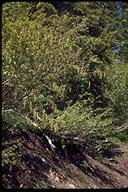 Alnus incana ssp. tenuifolia