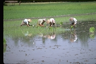 Planting rice in Bali, Indonesia