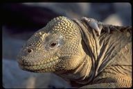 """<strong>Location:</strong> Santa Fe Island, Galapagos (Ecuador)<br /><strong>Author:</strong> <a href=""""http://calphotos.berkeley.edu/cgi/photographer_query?where-name_full=Gerald+and+Buff+Corsi&one=T"""">Gerald and Buff Corsi</a>"""