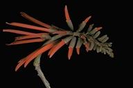 Erythrina sp.