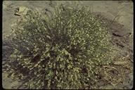 Petalonyx thurberi