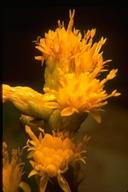 Solidago spathulata