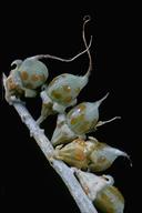 Psorothamnus spinosus