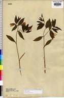 Uvularia sessilifolia