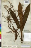 Cordyline fruticosa