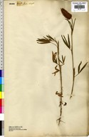 Trifolium angustifolium