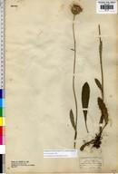 Cirsium dissectum